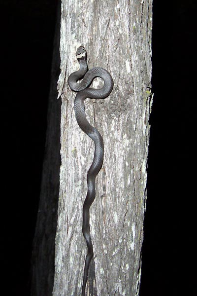 Pale-headed Snakes are good climbers